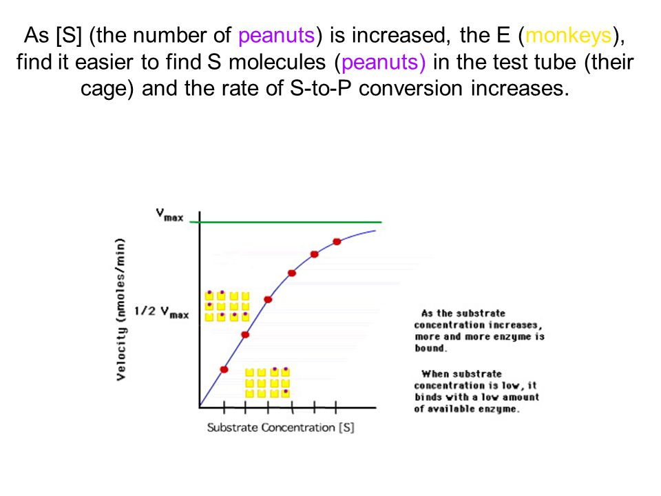 As [S] (the number of peanuts) is increased, the E (monkeys), find it easier to find S molecules (peanuts) in the test tube (their cage) and the rate of S-to-P conversion increases.